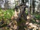 борьба деревьев