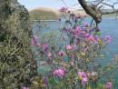 Визитная карточка весны - цветущий рододендрон на о.Герасимова
