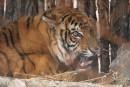 Тигр. Парк Животных. Шкотовский район.