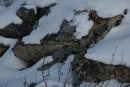 Лишайник под снегом.