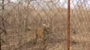 ГРАФ - пятнистый олень
