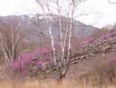 Цветущий багульник на осыпях.  Ущелье щеки Дарданеллы. Партизанский район.