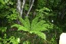 папоротник радуется дождю, а вокруг него хвощ - древнейшее растение на Земле