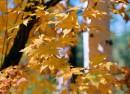 Желтый клен на берегу р. Кема (Тернейский р-н)