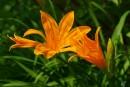Лилейник (Hemerocallis) на р. Водопадная (Партизанский р-н)