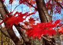Осенний лес (клен у подножья г. Фалаза)
