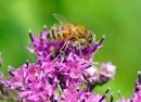 Пчелка (п. Врангель)
