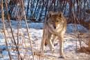 Серый волк (Сафари-парк, п. Шкотово)
