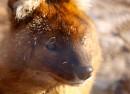 Красный волк (Сафари-парк, п. Шкотово)