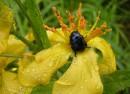 Жук-бронзовка на цветке зверобоя (бухта Теляковского, Хасанский р-н)