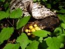 Несъедобные грибочки (р. Милоградовка)