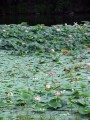 Искусственное озеро с лотосами около Артёмовской ТЭЦ