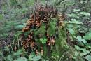 Пенёк украшенный грибами.