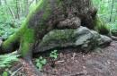 Деревья высиживающие камни.