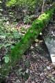 Поваленные стволы дают жизнь многочисленным мхам и лишайникам.