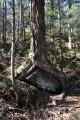 Дерево высиживающее камень )