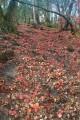 Ковёр из красных листьев.