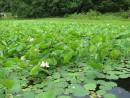 Лотос - священный цветок Востока