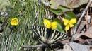 Парусник на цветке фиалки восточной.