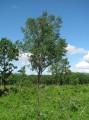 Приморская тайга в июне и ее обитатели. Район реки Большая Уссурка.