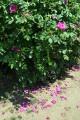 """По тропинке, усеянной лепестками """"дикой розы""""."""