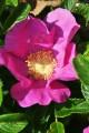 """""""Дикая роза"""" - Шиповник морщинистый."""