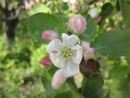 Яблоня цветет. Надеждинский район.