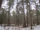 сосны и кедры зеленят лес