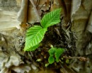 Молодая листва..растет из ствола.