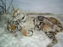 Экспозиция музея природы Лазовского заповедника. Уссурийский тигр