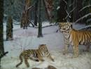 Экспозиция музея природы Лазовского заповедника. Уссурийские тигры
