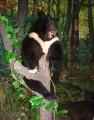 Экспозиция музея природы Лазовского заповедника. Медведь