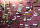 Экспозиция музея природы Лазовского заповедника. Птицы