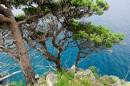 Могильные сосны (густоцветковые) или сосны Гамова, как их выделяют некоторые ботаники.