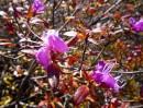 Багульника осеннее цветенье