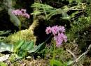Бадан тихоокеанский- эндемик Приморья.