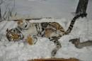 Тигры.