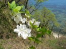 Белый Рододендрон, полуостров Гамова