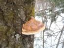 гриб трутовик. у подножья г. Пидан