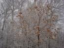у дуба листья не все опали