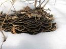 грибы-подснежники