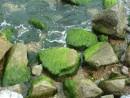 Водоросли на камнях
