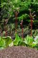 Муравейник в обрамлении Бадана тихоокеанского. На вершине Пидана.