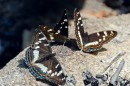 Переливница Шре́нка, или радужница Шре́нка (лат. Mimathyma schrenckii) — вид дневных бабочек из семейства нимфалид (Nymphalidae).