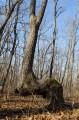 Изогнутые деревья, причём их очень много, интересно из-за чего?