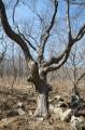 Среди камней ветвится страшное дерево.