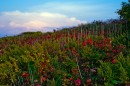 Отцветающий дикий виноград.  Полуостров Тобизина.