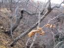змеиное дерево