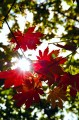 Красные листья клёна. Спускаемся по хребту горы Русских.