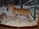 Тигр. Музей природы Лазовского заповедника. Лазовский район.